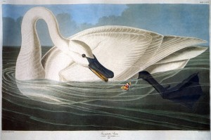 white John-James-Audubon-001